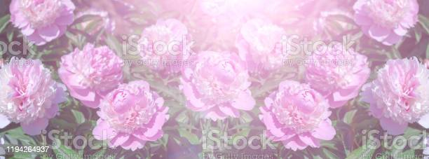Head of a pale pink peony flower picture id1194264937?b=1&k=6&m=1194264937&s=612x612&h=tavmnqge0kzfhkkiao yujtnwtpf3vfewa90wteq1be=