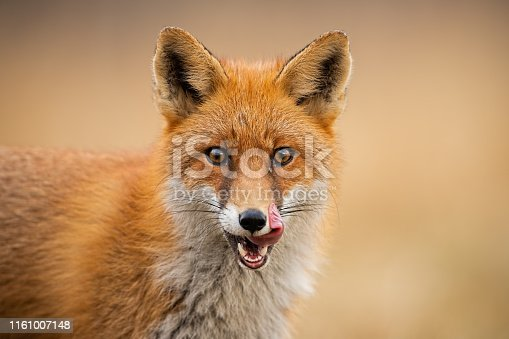 Close-up of head of a red fox, vulpes vulpes, looking straight to the camera licking lips. Detail of predator staring forward looking for a prey. Wildlife scenery in autumn with orange vivid colors.