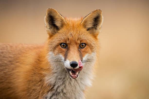 testa di volpe rossa, vulpes vulpes, guardando dritto alla telecamera leccare le labbra. - fauna selvatica foto e immagini stock