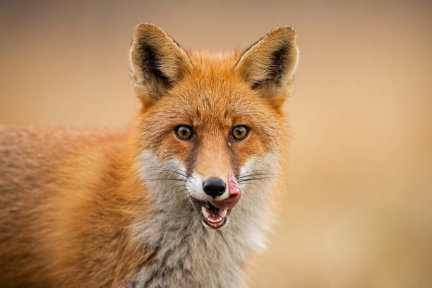 head of a red fox, vulpes vulpes, looking straight to the camera licking lips. - volpe foto e immagini stock