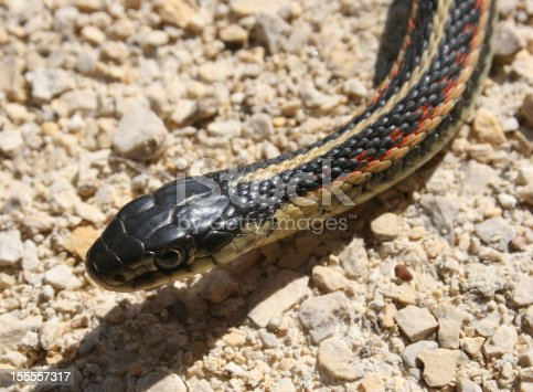 The head of a Red Sided Garter Snake slithering across a gravel path in spring while leaving its winter den in Narcisse, Manitoba, Canada