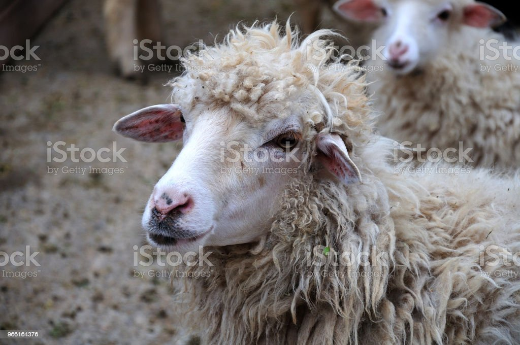 head of a sheep - Royalty-free Agriculture Stock Photo