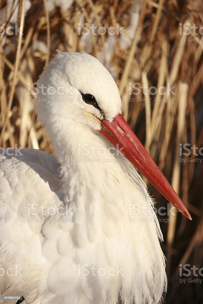 head of a stork royalty free stockfoto