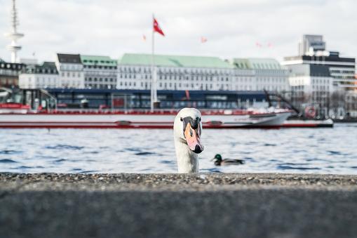 head of a swan coming up behind quay wall at Alster Lake in Hamburg, Germany
