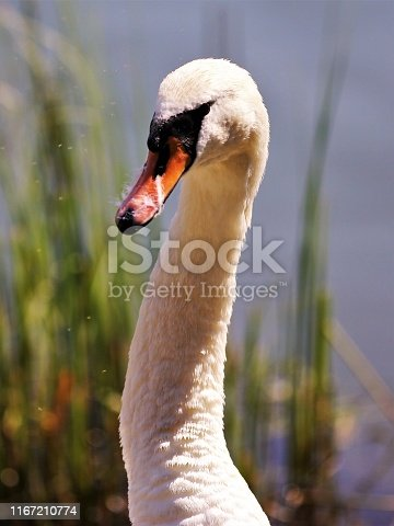 A female swan that has been cleaning the feathers on a nordic summer day.