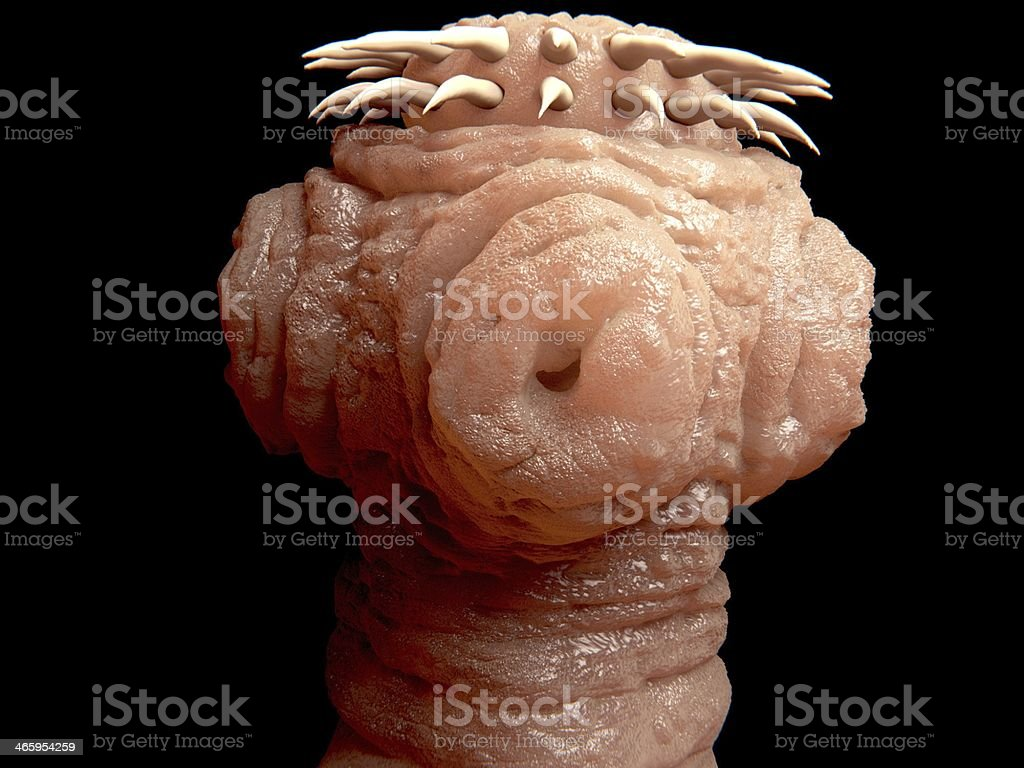 Head of a tapeworm stock photo