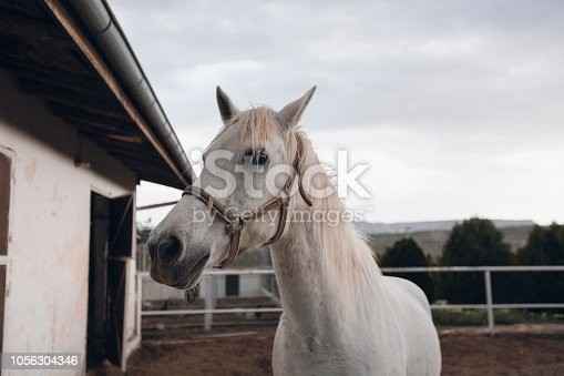 Head of a white horse.