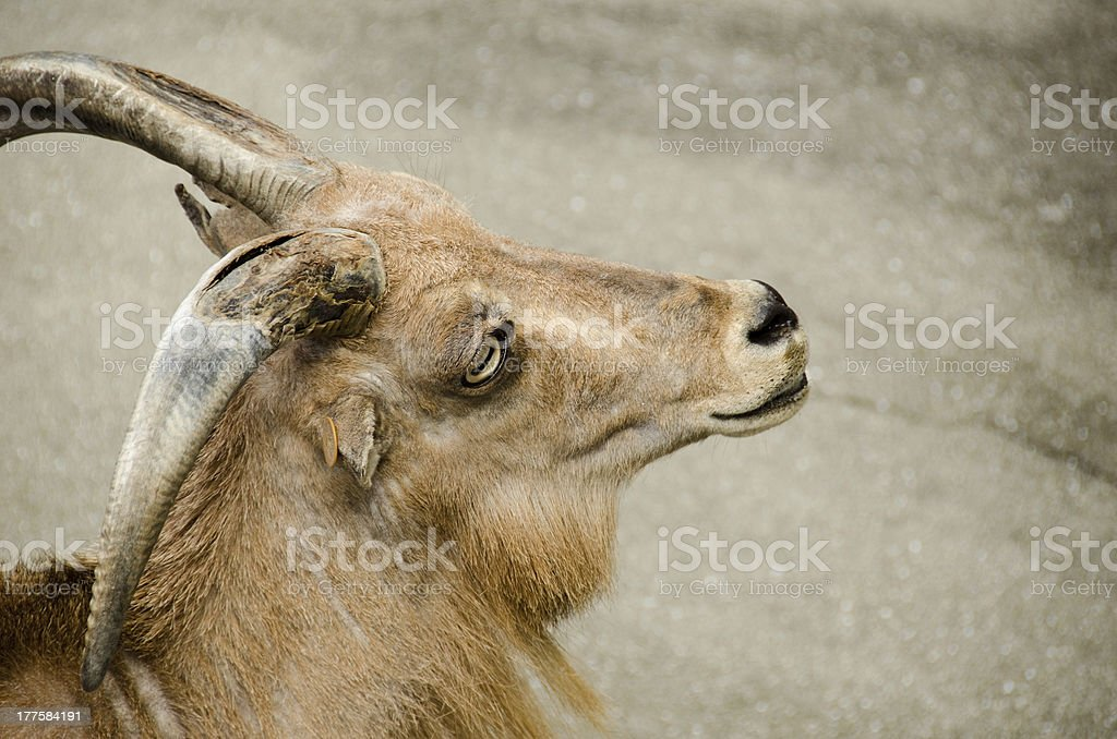Head of a wild goat royalty-free stock photo