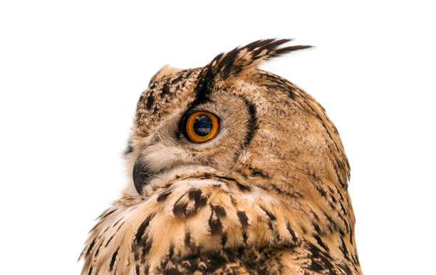 Head of adult eurasian eagle owl isolated on white background the picture id1041338942?b=1&k=6&m=1041338942&s=612x612&w=0&h=d3guaywqilndvaghpzmpjza3ufg 6w8csl zrznc  o=