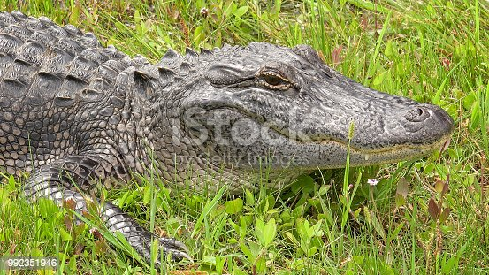 American Alligator along Pintail Wildlife Drive at Cameron Prairie National Wildlife Refuge in Louisiana