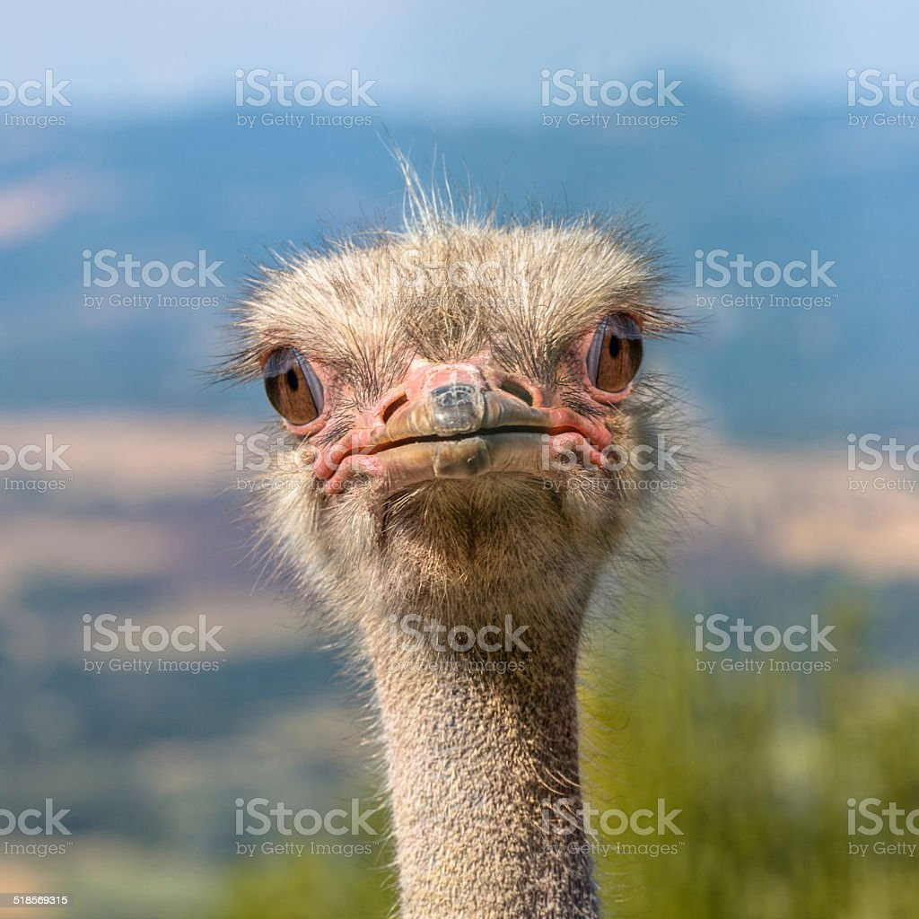 Head of an African Ostrich Looking straight in the Camera stock photo