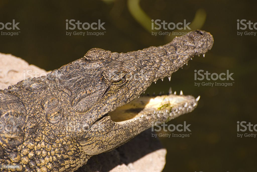 Head of an Alligator Mississippiensis stock photo