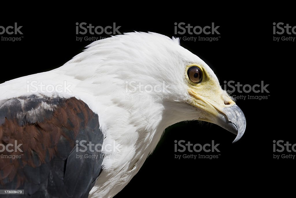 Head of an eagle royalty-free stock photo