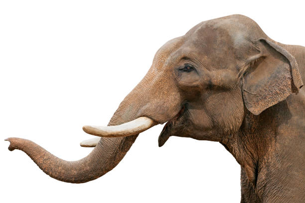 Head of an elephant, isolated Head of an elephant, isolated over white background animal trunk stock pictures, royalty-free photos & images