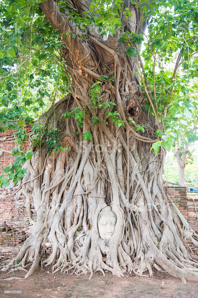 Head of Ancient Buddha Statue in tree roots at Mahathat Temple,...