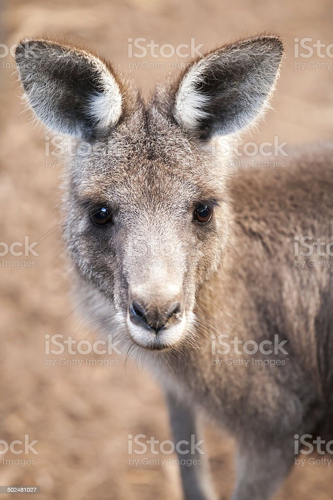 Head of an eastern grey kangaroo with ears up and alert looking at...