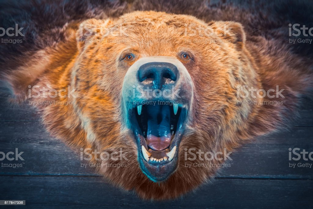 Head of Bear and skin. Hunting Trophy. Retro toned. stock photo