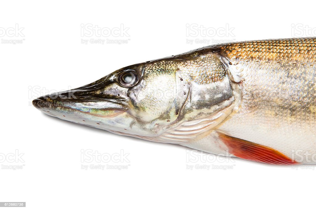 Head of big pike isolated over white stock photo