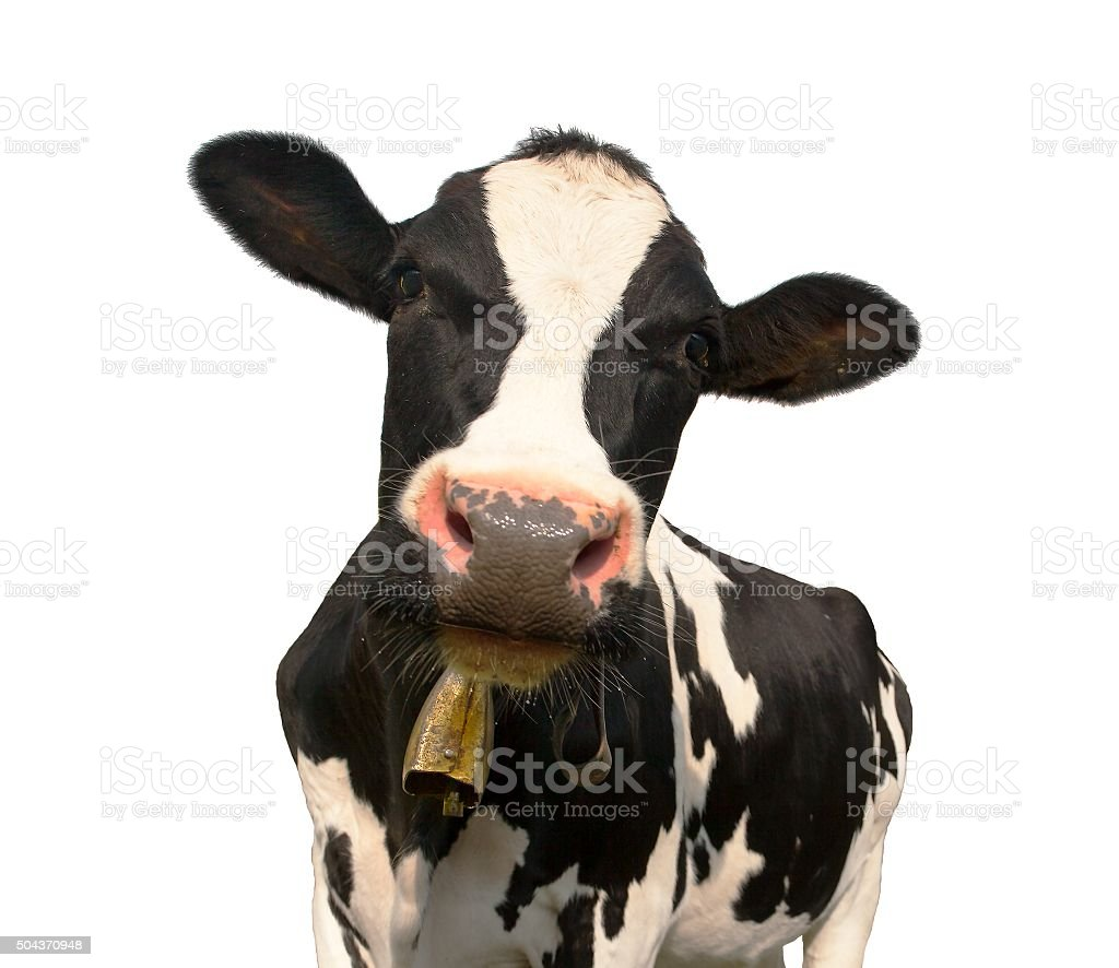 head of black and white cow (bos primigenius taurus) stock photo