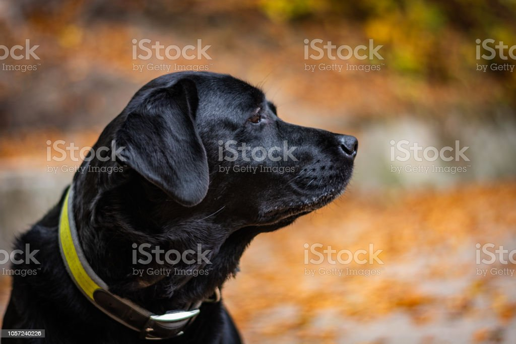Head of black Labrador Retriever during autumn, dog is looking right and has green collar, orange leaves are around – zdjęcie