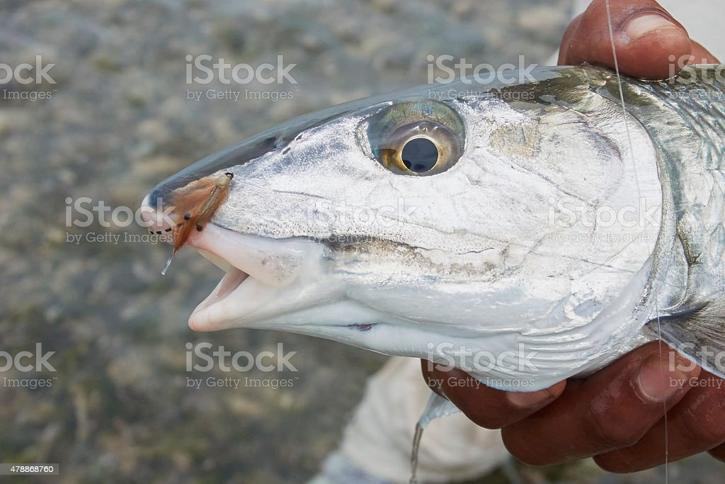 Head of Bonefish with Fly stock photo