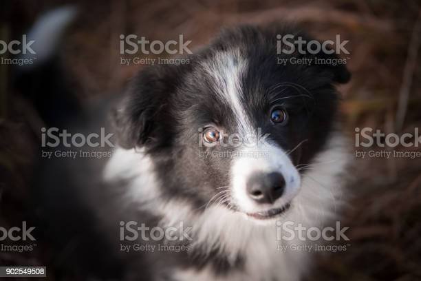 Head of border collie in field picture id902549508?b=1&k=6&m=902549508&s=612x612&h=kv7np3ik l3xwoxlxtsynak3zelppyb2apgqr1htfmq=