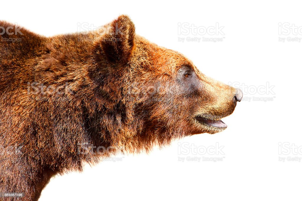 Jefe de brown bear - foto de stock