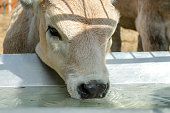 Head of calf who drinks water from trough or tank on farm. Portrait of muzzle. Close-up.