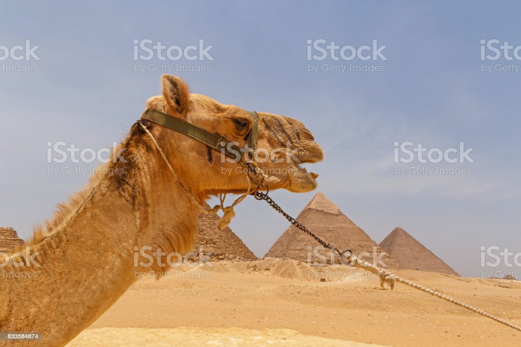 head of camel against pyramids stock photo