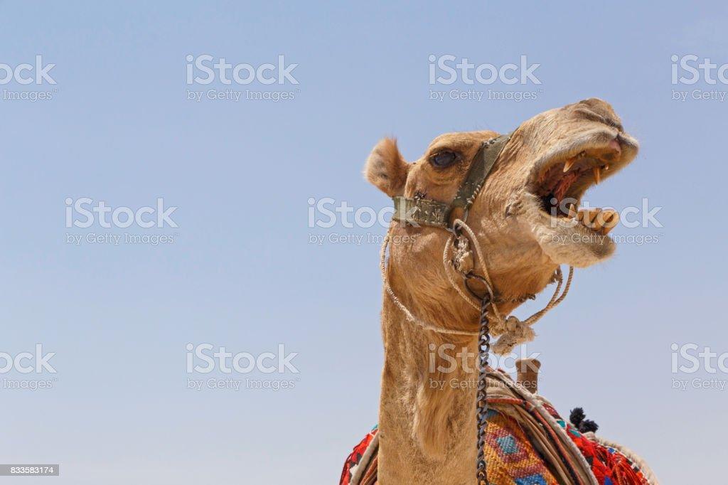 Mad camel