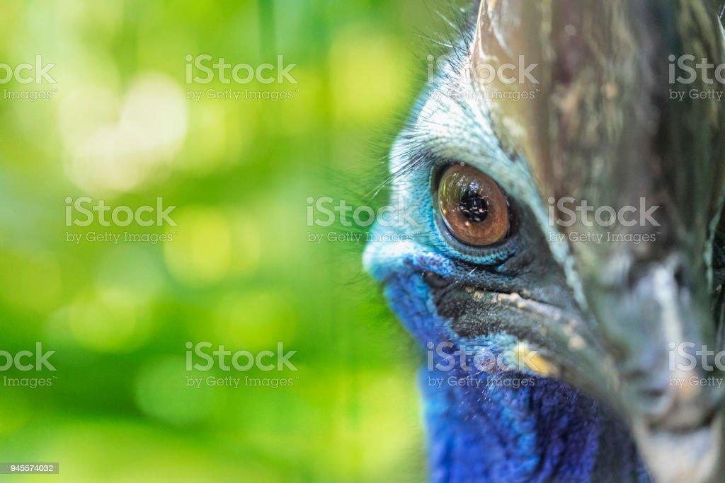 Head of Cassowary flightless bird in australian jungle stock photo