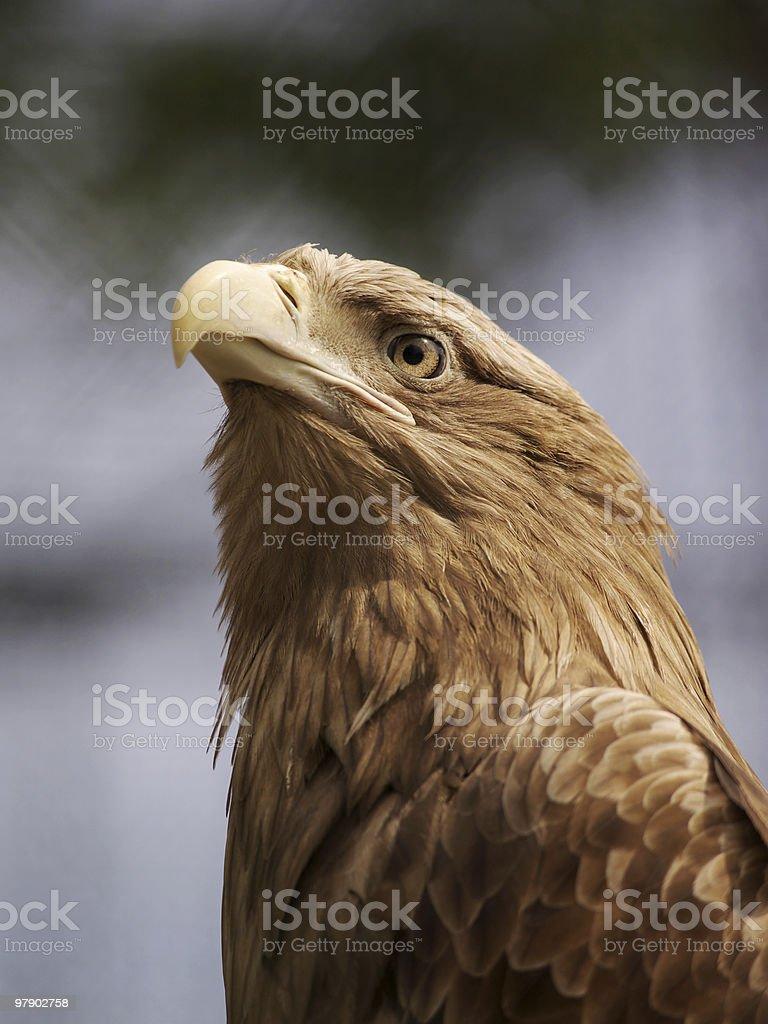 Head of eagle royalty-free stock photo