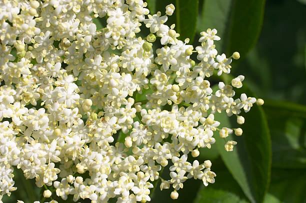 holunderblüten-sambucus nigra textfreiraum - weißer holunder stock-fotos und bilder
