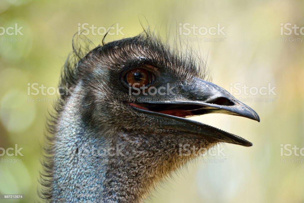 Head of emu bird (Dromaius novaehollandiae) stock photo