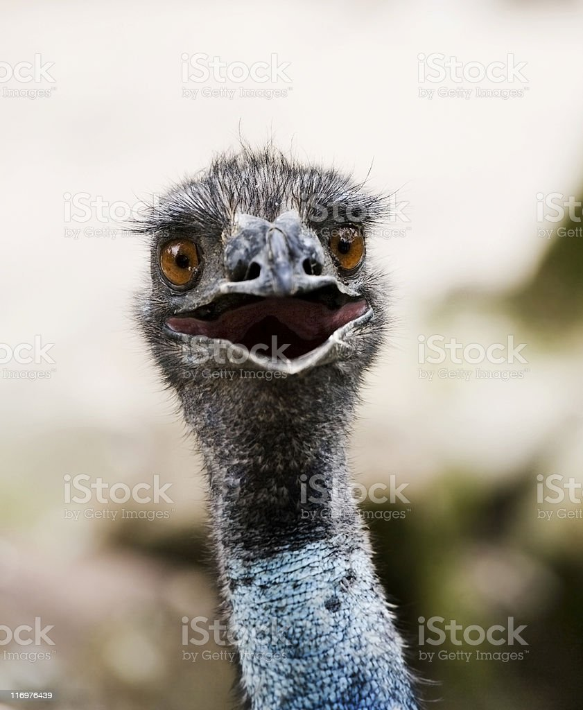 Head of Emu with Open Mouth stock photo