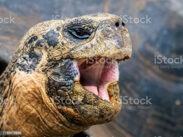Head of galapagos giant tortoise picture id1133475955?b=1&k=6&m=1133475955&s=612x612&h=pxgli3r afja9meogrviizsetpxx2ut36fkh2 eifms=