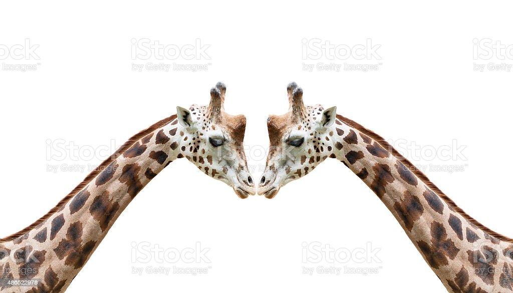 Head of giraffe auf weißem Hintergrund Lizenzfreies stock-foto