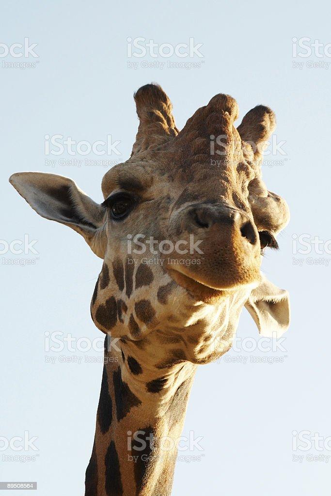 Head of giraffe royalty-free stock photo
