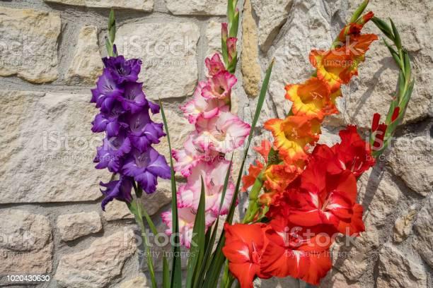 Head of gladiolus flower against the background of a limestone wall picture id1020430630?b=1&k=6&m=1020430630&s=612x612&h=r2d5ljnek1gwchnmb5xup1pcaxm7l ujucekkv3dfkq=