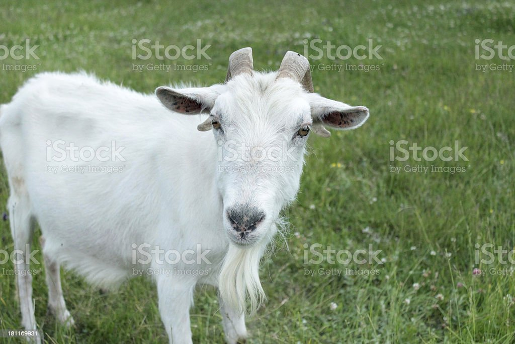 head of goat royalty-free stock photo
