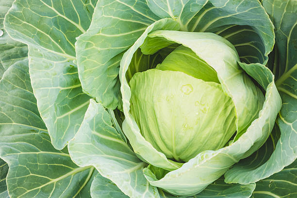Head Of Green Cabbage And Leaves stock photo