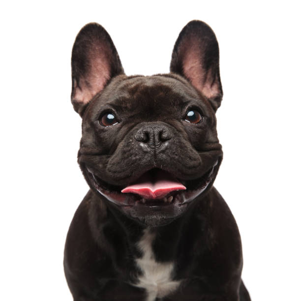 head of happy black french bulldog panting head of happy black french bulldog panting on white background french bulldog stock pictures, royalty-free photos & images