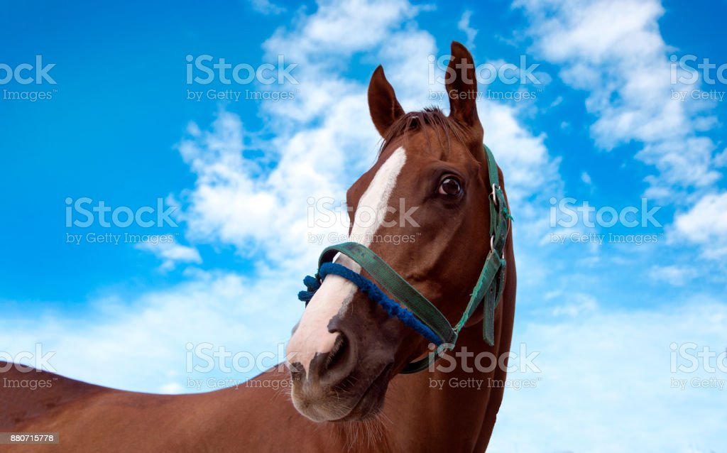 close up head of horse with rope in racing sport game on sky bakground