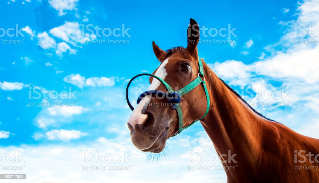 face of confidence face of racing horse with rope on blue sky...