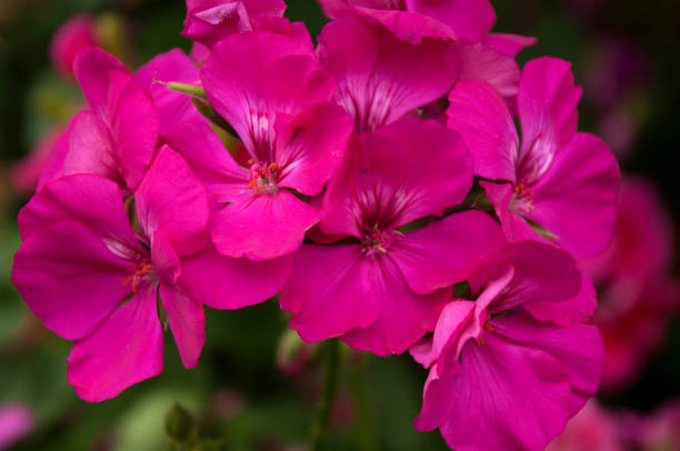 head of hot pink geranium flowers stock photo