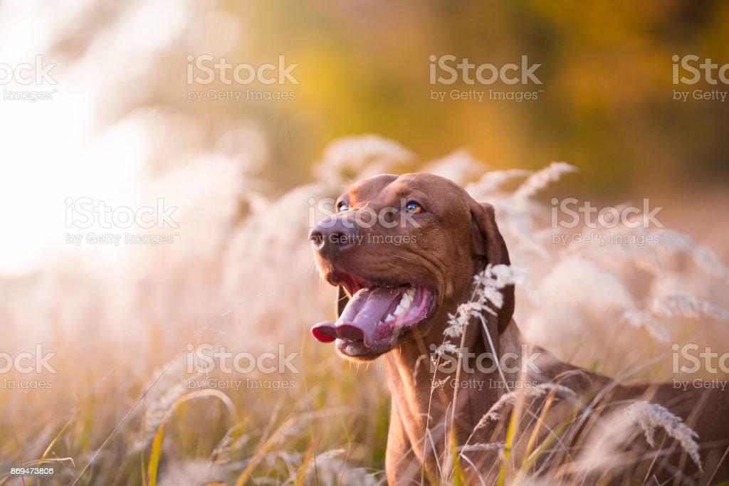 Tête de chien hongrois au coucher du soleil du soir - Photo