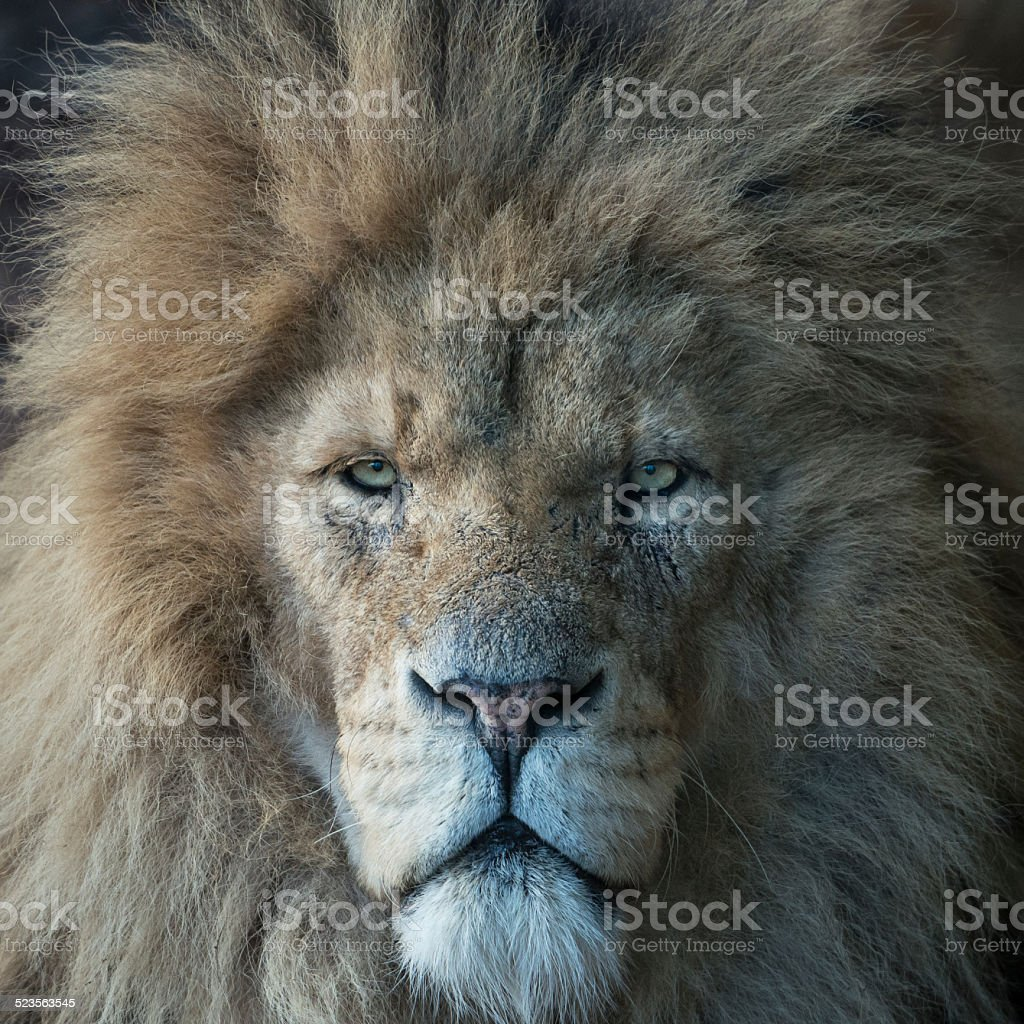 Head of Male Lion stock photo