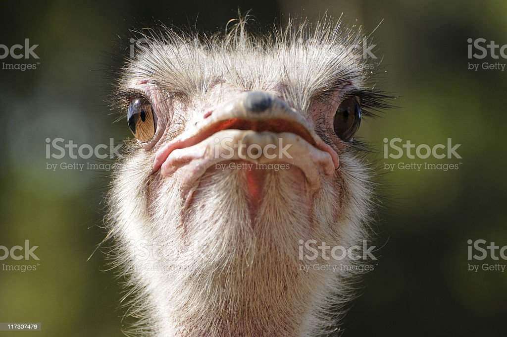 Head of male masai ostrich, looking into camera stock photo