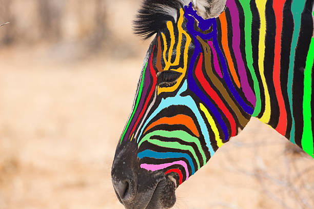 head of multi colored zebra - zebra stock photos and pictures