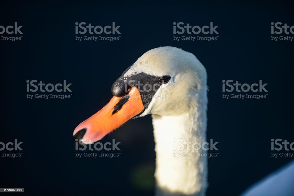 head of mute Swan stock photo